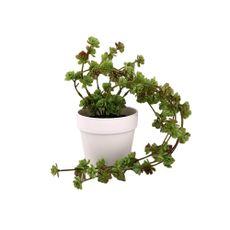 Planta-Colgante-1-574175